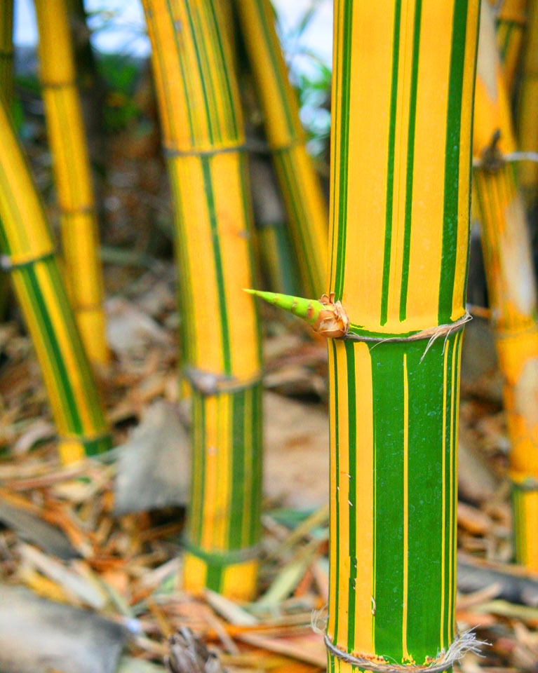 Bamboo - Golden Painted