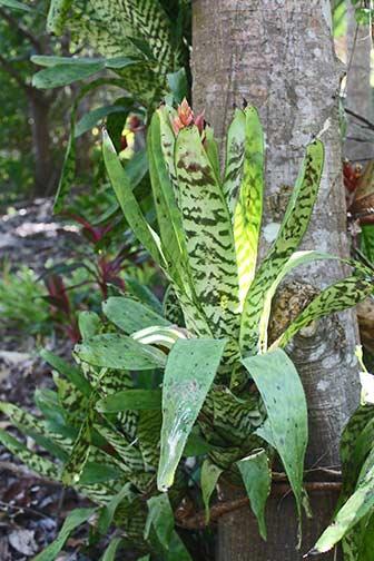 Bromeliad - Aechmea orlandiana