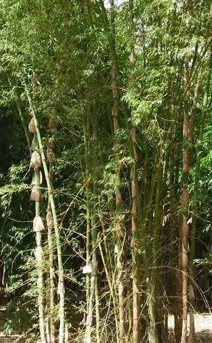 Bamboo - Arnhem Land