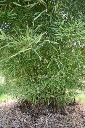 Bamboo - variegated Malay Dwarf