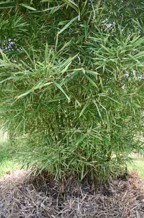 Bamboo - variegated Malay Dwarf