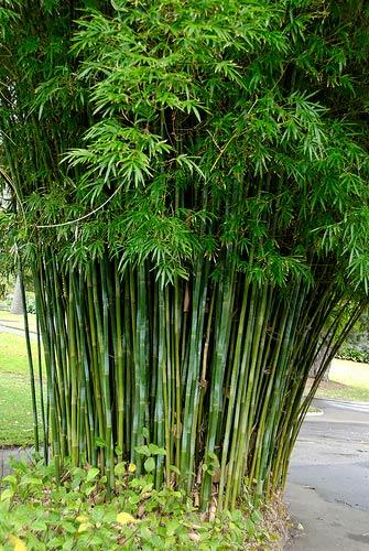 Bamboo - textilis gracilis