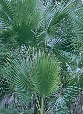Cabbage Palm - 120mm pot