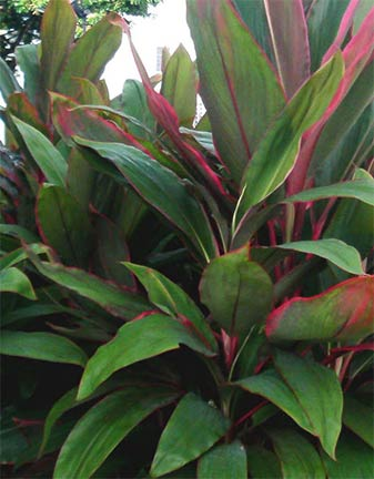 Cordyline - red edged