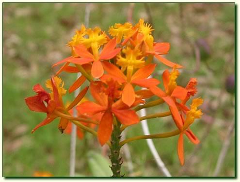 Crucifix orchid - orange