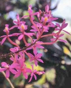 Crucifix orchid - purple