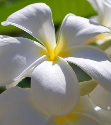 Frangipani white