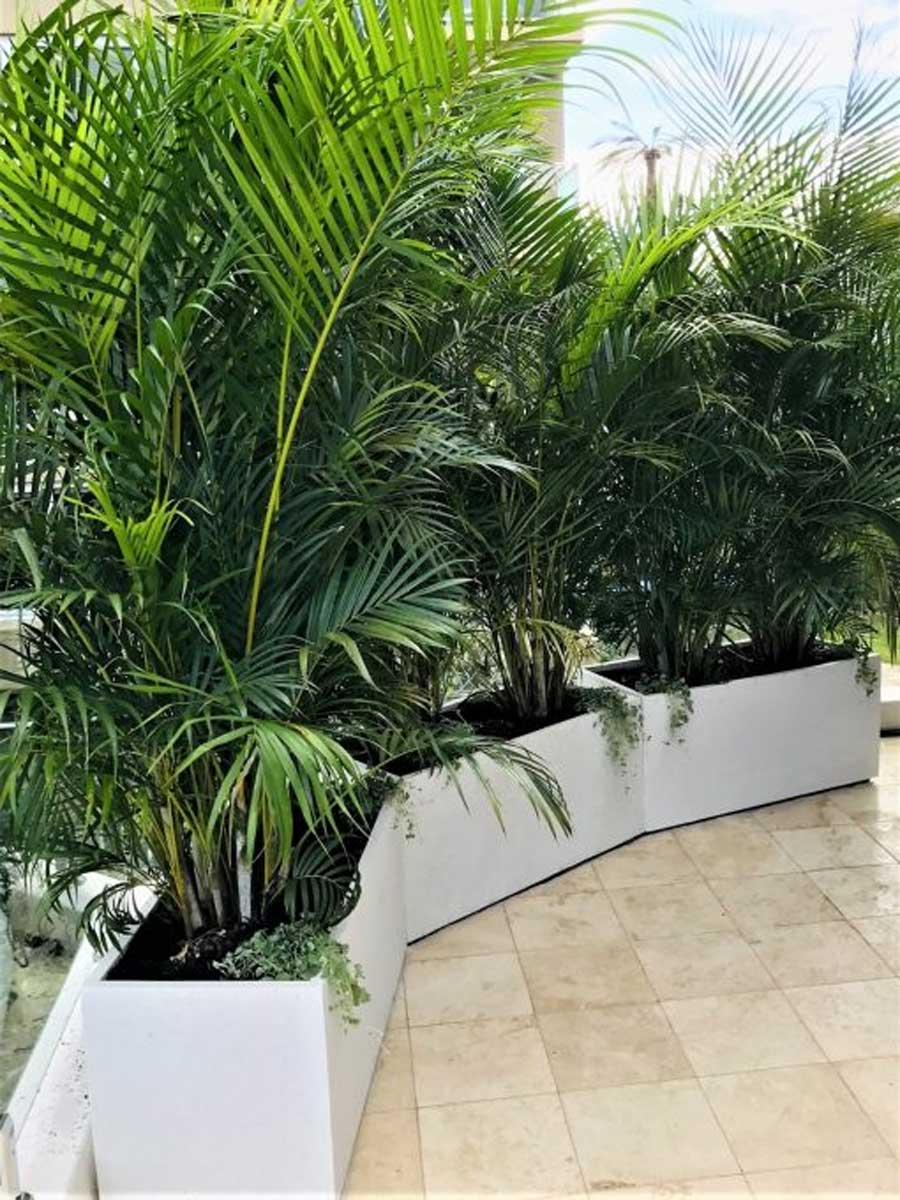 Golden Cane Palm 140mm