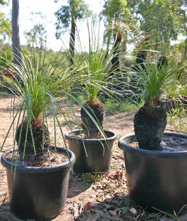 Grass Tree 25cm - WHOLESALE - pick up or delivered