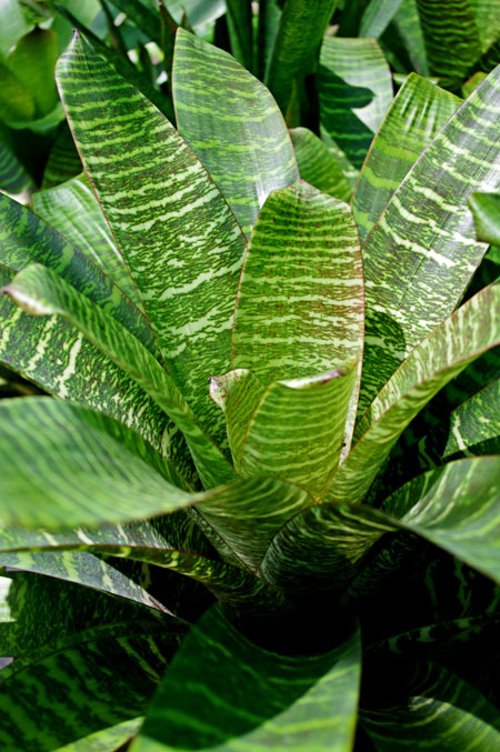 Bromeliad - Vriesea hieroglyphica