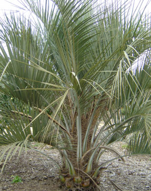 Wine/Jelly Palm seeds (20)