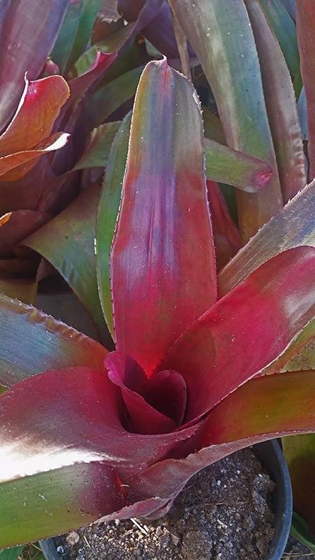 Bromeliad - Neoregelia big Burgundy