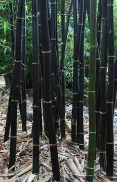 Bamboo - Timor Black