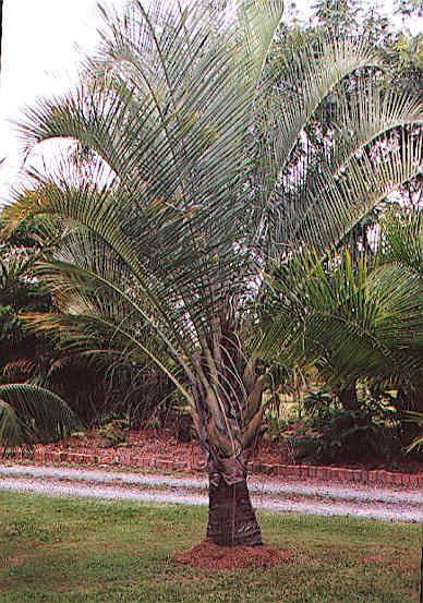 Triangle Palm Neodypsis Decaryi Online Plant Nursery